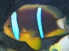 Marine Fish for Sale: Chrysopterus Clown