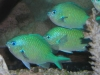 Marine Fish for Sale: Green Chromis