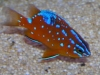 Marine Fish for Sale: Garibaldi Damsel - Juvenile