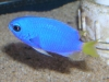 Marine Fish for Sale: Flavicauda Damsel