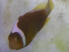 Marine Fish for Sale: Leucokranos Clown