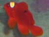 Marine Fish for Sale: Maroon Clown