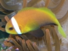 Marine Fish for Sale: Nigrippes Clown