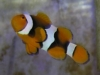 Marine Fish for Sale: Percula Clown