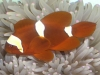 Marine Fish for Sale: Goldstripe Maroon Clowns