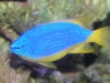 Marine Fish for Sale: Tazmanian Devil Damsel