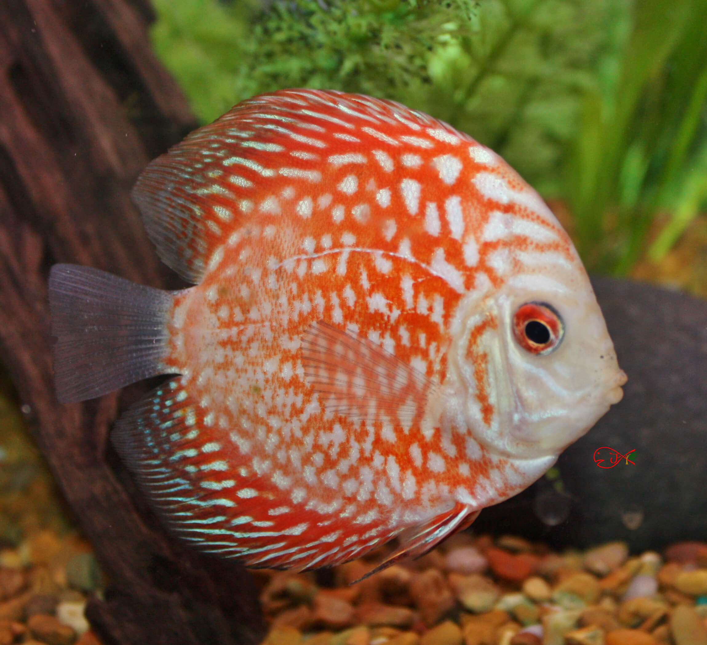 Absolutely fish photo gallery discus fish for Discus fish for sale near me