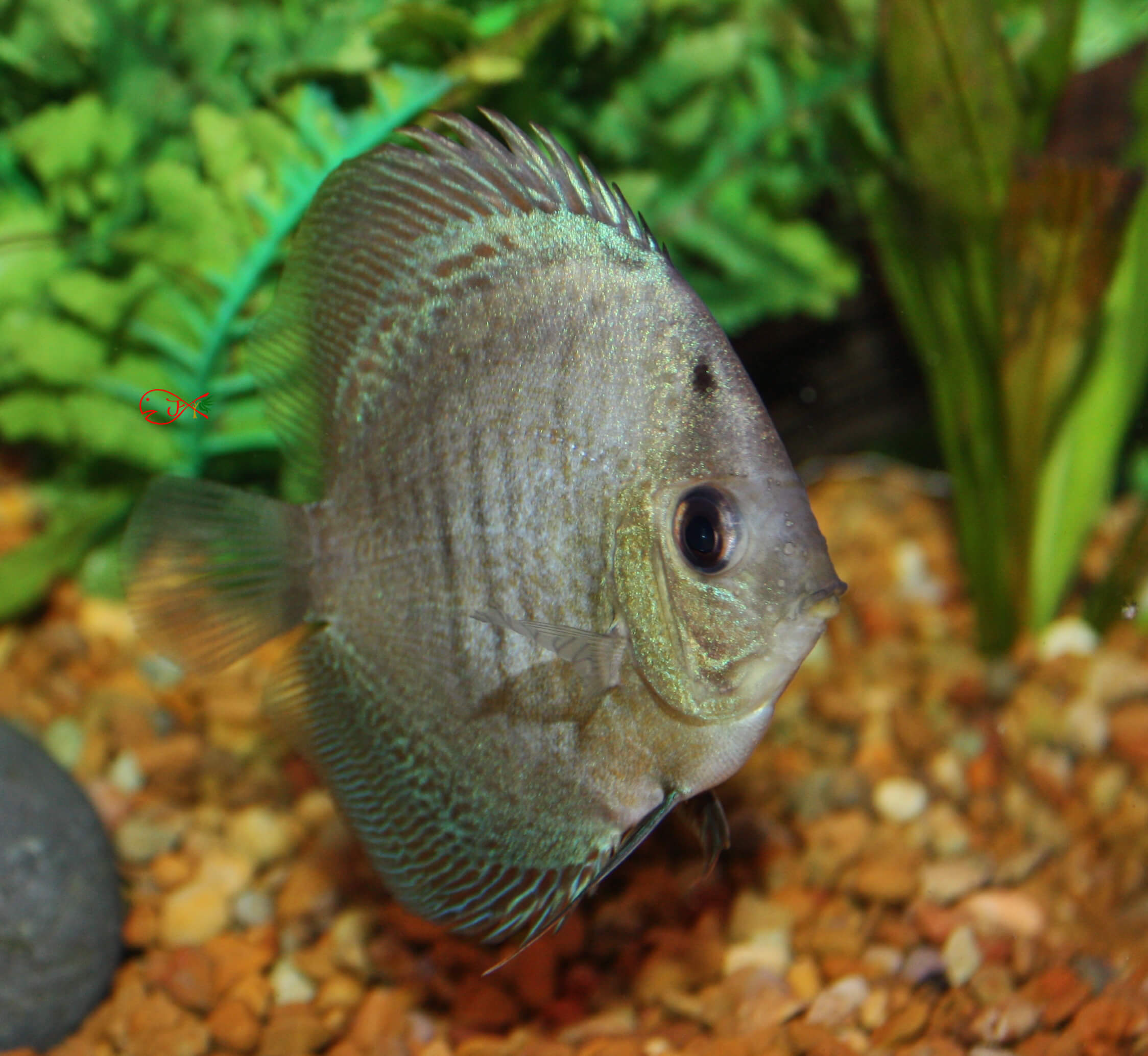 Discus Fish For Sale Nj Discus For Sale Absolutely Fish Nj Red Melon Discus 2017 Fish Tank