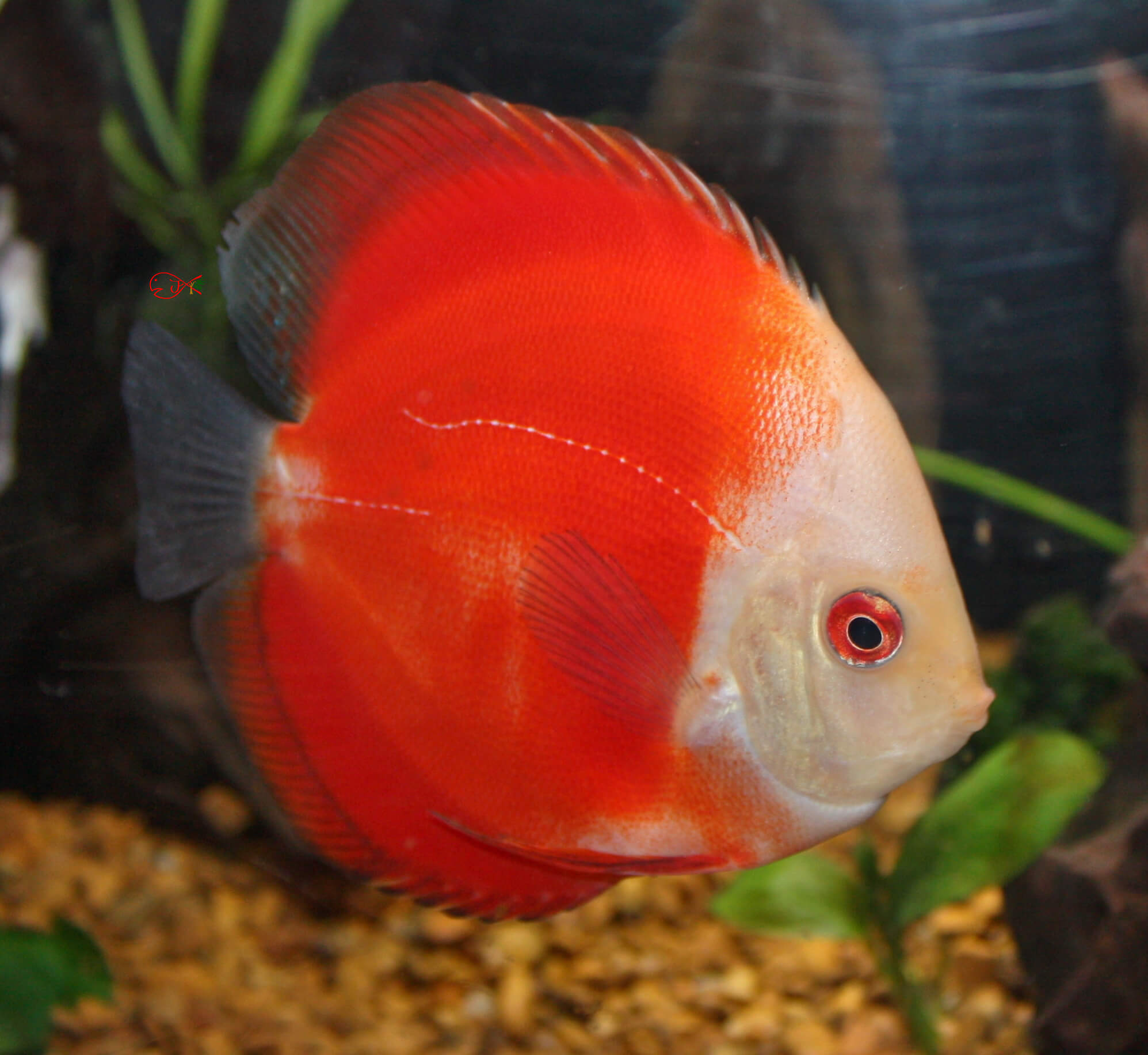 Quelques liens utiles for Live discus fish for sale
