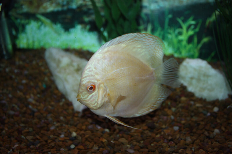 List of freshwater discus freshwater discus fish facts for Freshwater fish facts