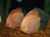Albino-Royal-Discus-Pair