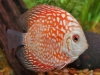 Discus-for-Sale-WN02-Red-Panda