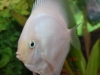 Discus-for-Sale-WN03-Snow-White