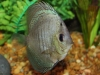 Discus-for-Sale-WN04-High-Body-Snakeskin