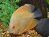 Discus-for-Sale-WN05-Albino-Golden