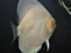 Discus-for-Sale-WN06-Albino-Golden