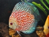 Discus-for-Sale-WN07-Checkerboard-Pigeon-Blood-Discus