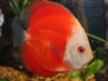 Discus-for-Sale-WN09-Red-Melon