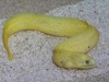 Marine Fish for Sale: Canary Eel