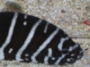 Marine Fish for Sale: Zebra Morray Eel