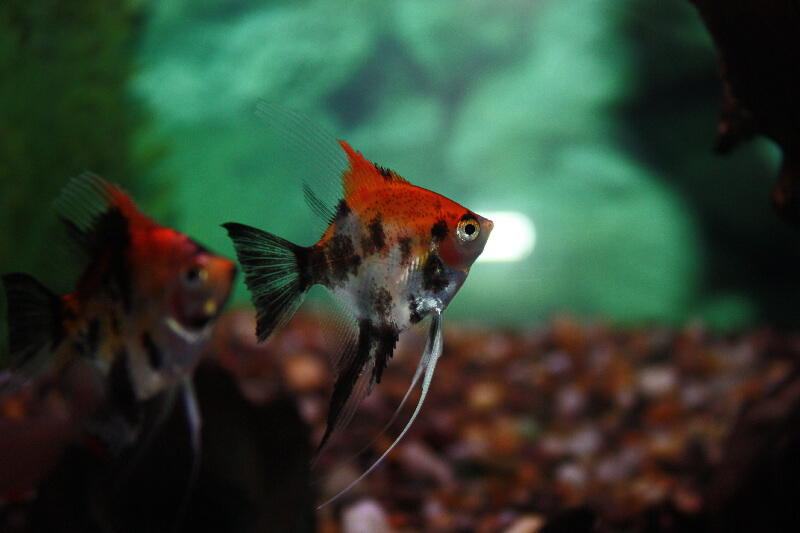 Absolutely Fish Photo Gallery - Freshwater Angelfish