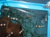 Tropical Invertebrates for Sale Absolutely Fish NJ: Red Crystal Shrimp
