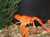 Neon Orange Lobster