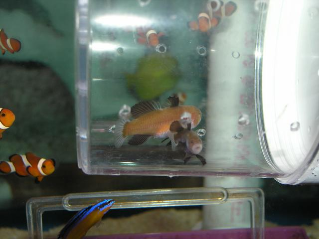 Marine Fish for Sale: Panda Goby