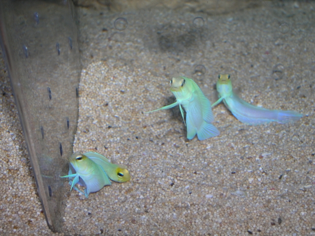 Marine Fish for Sale: Jawfish - Pearly