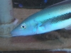 Marine Fish for Sale: Blue BlanquilloMarine Fish, Malacanthidae, Gobies, Blanquillo