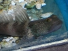 Marine Fish for Sale: Watchman Goby - Bluedot