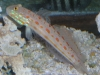 Marine Fish for Sale: Diamond Goby - Orange