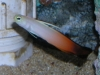 Marine Fish for Sale: Firefish - Red
