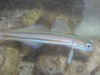 Marine Fish for Sale: Dart Goby - Grammica