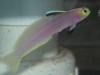 Marine Fish for Sale: Firefish - Helfrichi