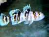 Marine Fish for Sale: Nocturna Goby - Banded