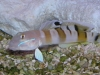 Marine Fish for Sale: Tiger Wardi Goby