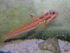 Marine Fish for Sale: Yashi Hashe Goby