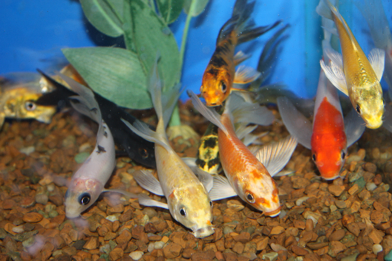 Absolutely fish photo gallery goldfish for Butterfly koi fish aquarium
