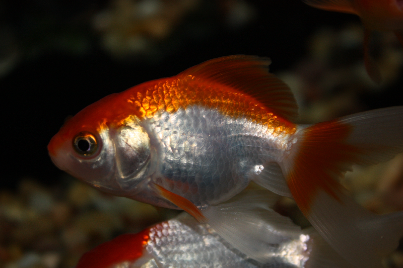 Red and white comet goldfish - photo#16