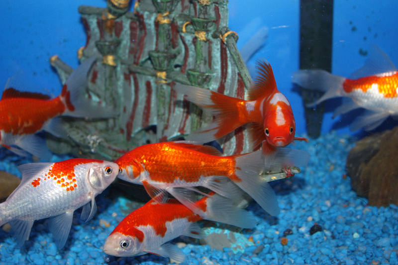 Absolutely Fish Photo Gallery - Goldfish