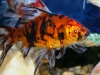 Freshwater Fish for Sale NJ - Shubunkin