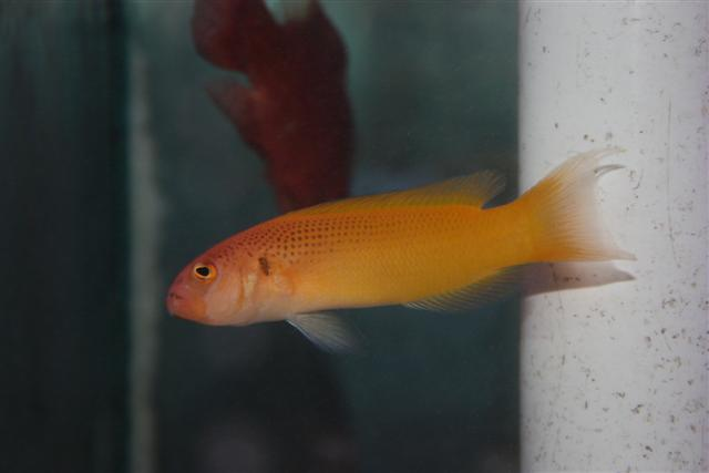 Marine Fish for Sale: Moori Pseudochromis