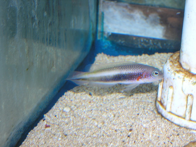 Marine Fish for Sale: Tono Pseudochromis - Female