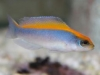 Marine Fish for Sale: Flaviveritex Pseudochromis