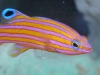 Marine Fish for Sale: Carmabi Basslet