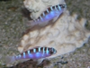 Marine Fish for Sale: Chalk Basslet