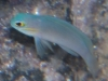 Marine Fish for Sale: Linki Basslet