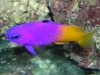 Marine Fish for Sale: Royal Gramma