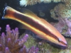 Marine Fish for Sale: Eukrines Bass